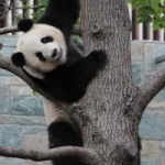 Panda snt33