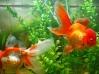 Meus adoraveis peixinhos!!!!!! Amorosos. dóceis enfim um amor de peixe!!!