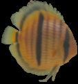 Catalana peix discus 2-27