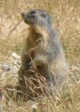 Marmotte78