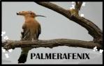 Palmerafenix
